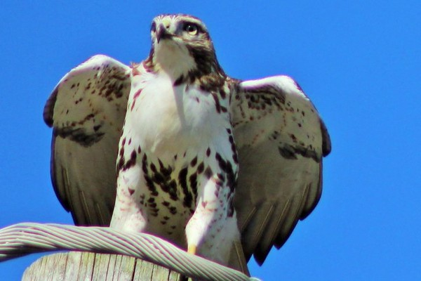 A posing hawk.<br /> <br /> Photographer's Name: Rebecca Reding<br /> Photographer's City and State: Anderson, Ind.