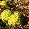 A sign of fall with fallen hedge apples at Mounds Park.<br /> <br /> Photographer's Name: Jerry Byard<br /> Photographer's City and State: Anderson, Ind.