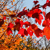 Some colorful leaves in the Mounds Park campground will soon be gone.<br /> <br /> Photographer's Name: Jerry Byard<br /> Photographer's City and State: Anderson, Ind.