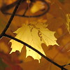 A Nov. 1, autumn leaf.<br /> <br /> Photographer's Name: Harry Van Noy<br /> Photographer's City and State: Lafayette Township, Ind.