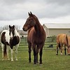 Three of a kind: Rescue horses at my farm in Richland Township.<br /> <br /> Photographer's Name: J.R. Rosencrans<br /> Photographer's City and State: Alexandria, Ind.
