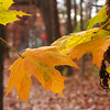 Some colored leaves hanging on at Mounds Park.<br /> <br /> Photographer's Name: Jerry Byard<br /> Photographer's City and State: Anderson, Ind.