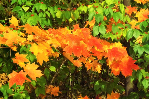 Fall color in my woods in Richland Township.<br /> <br /> Photographer's Name: J.R. Rosencrans<br /> Photographer's City and State: Alexandria, Ind.