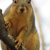 A Sandyside squirrel, curiously watching me.<br /> <br /> Photographer's Name: Harry Van Noy<br /> Photographer's City and State: Lafayette Township, Ind.