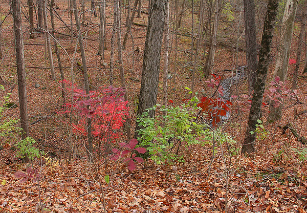 Leaf covered forest floor at Mounds with a bit of color still showing.<br /> <br /> Photographer's Name: Jerry Byard<br /> Photographer's City and State: Anderson, Ind.