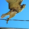 A majestic hawk.<br /> <br /> Photographer's Name: Rebecca Reding<br /> Photographer's City and State: Anderson, Ind.
