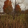 November cattails in Richland Township.<br /> <br /> Photographer's Name: J.R. Rosencrans<br /> Photographer's City and State: Alexandria, Ind.