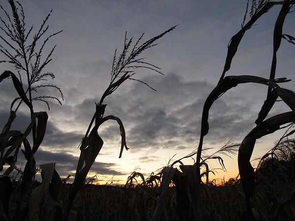 Dried corn stalks, silhouetted against a late October sky. <br /> <br /> Photographer's Name: Harry Van Noy<br /> Photographer's City and State: Lafayette Township, Ind.