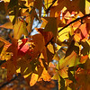 A leafy back lit sweet gum tree at Mounds Park.<br /> <br /> Photographer's Name: Jerry Byard<br /> Photographer's City and State: Anderson, Ind.