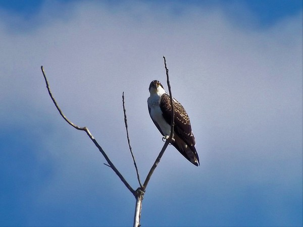 An osprey hawk watching everything.<br /> <br /> Photographer's Name: J.R. Rosencrans<br /> Photographer's City and State: Alexandria, Ind.