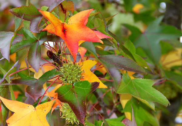 A colorful look at a sweet gum tree at Mounds Park.<br /> <br /> Photographer's Name: Jerry Byard<br /> Photographer's City and State: Anderson, Ind.