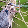 A great blue heron, taken at Shadyside Lake.<br /> <br /> Photographer's Name: Ruby Northcutt <br /> Photographer's City and State: Anderson, Ind.
