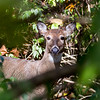 Nothing to see here, deer!<br /> <br /> Photographer's Name: Ruby Northcutt<br /> Photographer's City and State: Anderson, Ind.
