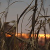 Corn stalks silhouetted with a recent sunset.<br /> <br /> Photographer's Name: Harry Van Noy<br /> Photographer's City and State: Lafayette Township, Ind.