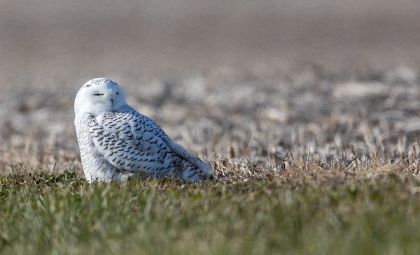 Snow Owl - There is a good number of these owls moving into the state this winter. Keep your eye out for them in fields and on top of utility poles. Taken in Grant County last Sunday.<br /> <br /> Photographer's Name: Jeff Timmons<br /> Photographer's City and State: Anderson, Ind.