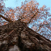 Gigantic Oak with a few leftover leaves hanging on at Mounds Park.<br /> <br /> Photographer's Name: Jerry Byard<br /> Photographer's City and State: Anderson, Ind.