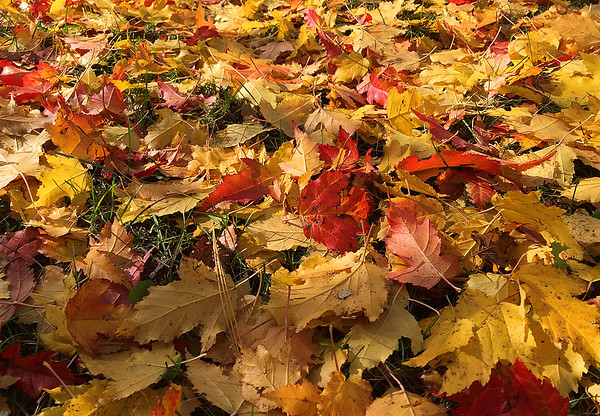 Very little grass showing in the front yard of colorful leaves.<br /> <br /> Photographer's Name: Jerry Byard<br /> Photographer's City and State: Anderson, Ind.