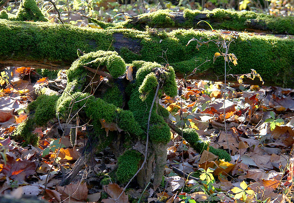 A moss-covered stump and fallen tree along the river at Mounds Park.<br /> <br /> Photographer's Name: Jerry Byard<br /> Photographer's City and State: Anderson, Ind.