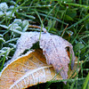 A recent frosty morning in my yard brings thoughts of impending winter.<br /> <br /> Photographer's Name: Jerry Byard<br /> Photographer's City and State: Anderson, Ind.