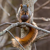 A squirrel posing with a walnut at Mounds State Park.<br /> <br /> Photographer's Name: Ruby Northcutt <br /> Photographer's City and State: Anderson, Ind.
