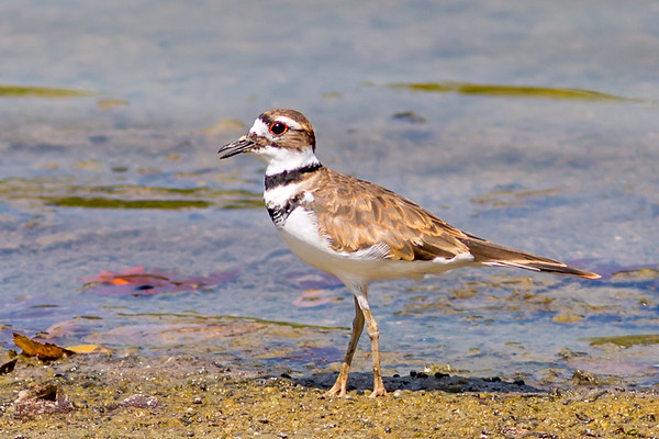 A killdeer enjoying the sun at Shadyside Lake. <br /> <br /> Photographer's Name: Ruby Northcutt <br /> Photographer's City and State: Anderson, Ind.