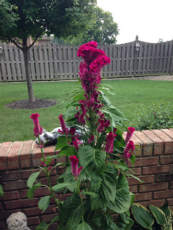 Earl McKinney's cockscomb flowers.<br /> <br /> Photographer's Name: Janet McKinney<br /> Photographer's City and State: Anderson, Ind.