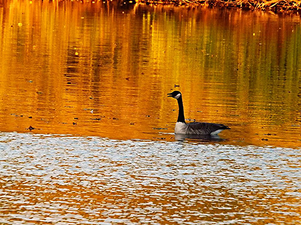A goose on Killbuck Creek  in Richland Township.<br /> <br /> Photographer's Name: J.R. Rosencrans<br /> Photographer's City and State: Alexandria, Ind.