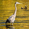 """""""Wading for supper"""" at Killbuck Creek in Richland Township.<br /> <br /> Photographer's Name: J.R. Rosencrans<br /> Photographer's City and State: Alexandria, Ind."""