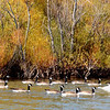 A swan leading a group of Canada geese at Summit Lake.<br /> <br /> Photographer's Name: Pete Domery<br /> Photographer's City and State: Anderson, Ind.