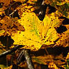 A Richland Township leaf in all its color.<br /> <br /> Photographer's Name: J.R. Rosencrans<br /> Photographer's City and State: Alexandria, Ind.