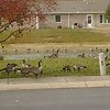 Crowne point apartments geese in lake across from my home. It doesn't do it justice! There were hundreds!! Must b migrating for winter!<br /> <br /> Photographer's Name: Anna Marie  Anderson <br /> Photographer's City and State: Anderson, Ind.