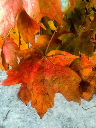 Fall leaf.<br /> <br /> Photographer's Name: Linda Riedel Ellis<br /> Photographer's City and State: Daleville, Ind.