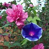 Rose of Sharon and Morning Glory.<br /> <br /> Photographer's Name: H. A. Pease<br /> Photographer's City and State: Anderson, Ind.