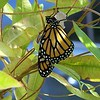 A newborn monarch.<br /> <br /> Photographer's Name: Bob  Armstrong<br /> Photographer's City and State: Anderson, Ind.