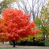 What beautiful colors this tree has right here in Anderson.<br /> <br /> Photographer's Name: Rita Drews<br /> Photographer's City and State: Anderson, Ind.