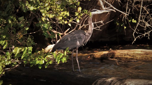 A blue heron fishing in White River at Strawtown.<br /> <br /> Photographer's Name: J.R.  Rosencrans<br /> Photographer's City and State: Alexandria, Ind.