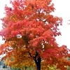This tree was just so proud to show off its colors in Shadyside Park.<br /> <br /> Photographer's Name: Rita Drews<br /> Photographer's City and State: Anderson, Ind.