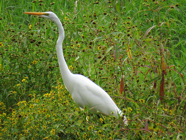 An egret at the Killbuck Wetlands.<br /> <br /> Photographer's Name: Harry Van Noy<br /> Photographer's City and State: Lafayette Township, Ind.