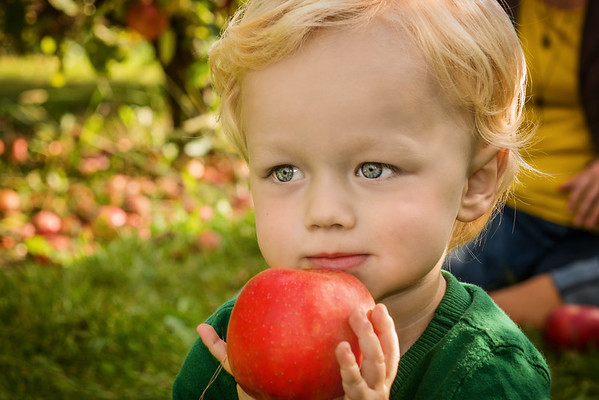 My grandson Eaton Ayers picking apples at a nearby orchard.<br /> <br /> Photographer's Name: Terry Lynn Ayers<br /> Photographer's City and State: Anderson, Ind.