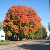 Over 100-year-old maple tree on North 8th Street in Middletown.<br /> <br /> Photographer's Name: Rex Rice<br /> Photographer's City and State: Middletown, Ind.