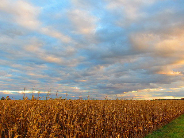 A golden cornfield.<br /> <br /> Photographer's Name: Harry Van Noy<br /> Photographer's City and State: Lafayette Township, Ind.