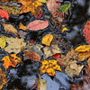 Colorful leaves in a water catch basin at Mounds Park.<br /> <br /> Photographer's Name: Jerry Byard<br /> Photographer's City and State: Anderson, Ind.