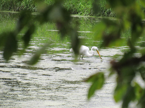 An egret got a bite in the Killbuck Wetlands.<br /> <br /> Photographer's Name: Harry Van Noy<br /> Photographer's City and State: Lafayette Township, Ind.