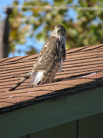 Hawk on my roof, looking for dinner.<br /> <br /> Photographer's Name: Harry Van Noy<br /> Photographer's City and State: Lafayette Township, Ind.