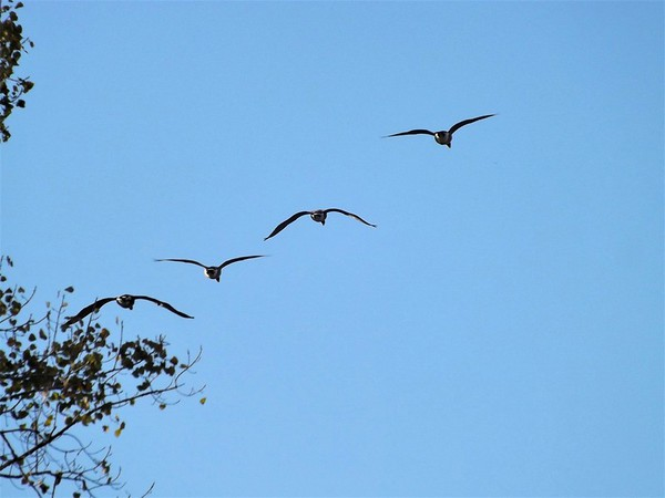 Heading home...geese flying over my farm in Richland Township.<br /> <br /> Photographer's Name: J.R. Rosencrans<br /> Photographer's City and State: Alexandria, Ind.