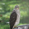 Hawk in bird bath in my front yard.<br /> <br /> Photographer's Name: Mike Brown<br /> Photographer's City and State: Anderson, Ind.