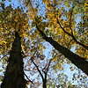 A look upward into the top of shagbark hickory trees at Mounds Park.<br /> <br /> Photographer's Name: Jerry Byard<br /> Photographer's City and State: Anderson, Ind.