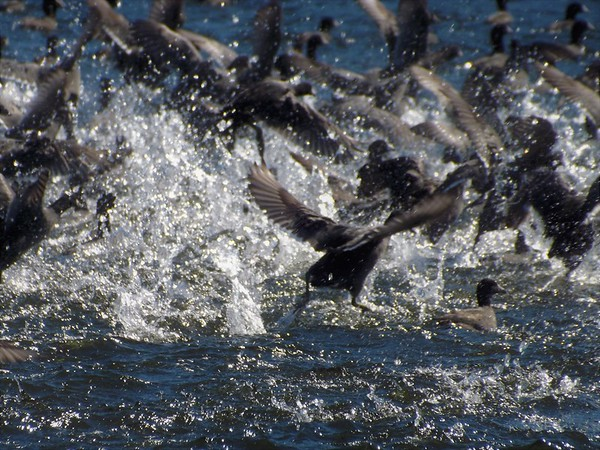 Boo! Mud hens flying at Shadyside Lake.<br /> <br /> Photographer's Name: J.R. Rosencrans<br /> Photographer's City and State: Alexandria, Ind.