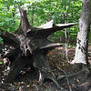 An interesting stump in the woods at Mounds Park.<br /> <br /> Photographer's Name: Jerry Byard<br /> Photographer's City and State: Anderson, Ind.