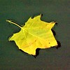 A leaf floating in Killbuck Creek.<br /> <br /> Photographer's Name: J.R. Rosencrans<br /> Photographer's City and State: Alexandria, Ind.